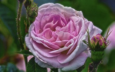 rose-202046_1920