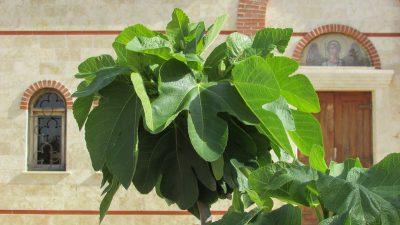 fig-tree-1333574_1920