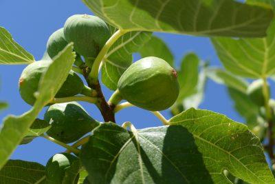 fig-tree-1658686_1920